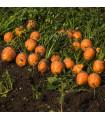 Mrkev kulatá k rychlení Pariser Markt - Daucus carota - semena - 1 g