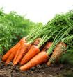 Mrkev Maxima F1 pozdní - Daucus carota - semena - 1 g