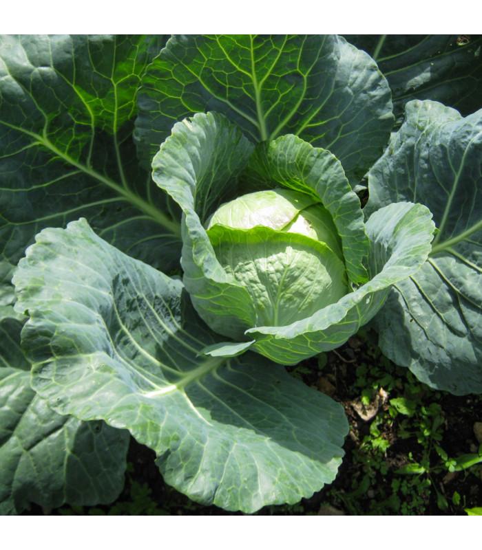 Zelí hlávkové pozdní Holt - Brassica oleracea - semena - 0,8 g