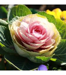 Okrasné zelí Sunrise - Brassica oleracea - semena - 20 ks