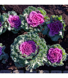 Okrasné zelí Nagoya F1 růžová - Brassica oleracea - semena - 20 ks