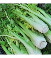 Celer řapíkatý Malachit - Apium graveolens - semena celeru - 0,7 g
