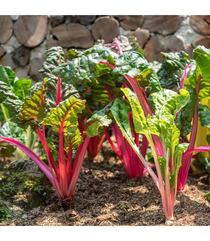 Mangold řapíkatý růžový - Beta vulgaris - semena - 75 ks
