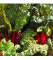 Mangold řapíkatý červený - Beta vulgaris - semena - 75 ks
