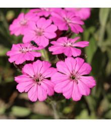 Kohoutek alpský - Lychnis alpina - semena - 20 ks