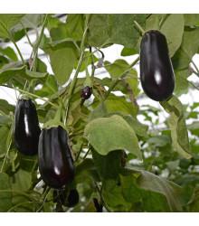 Lilek vejcoplodý Black Beauty - Baklažán - Solanum melongena - semena lilku - 60 ks