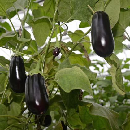 Lilek vejcoplodý Black Beauty - Baklažán - Solanum melongena - semena - 60 ks