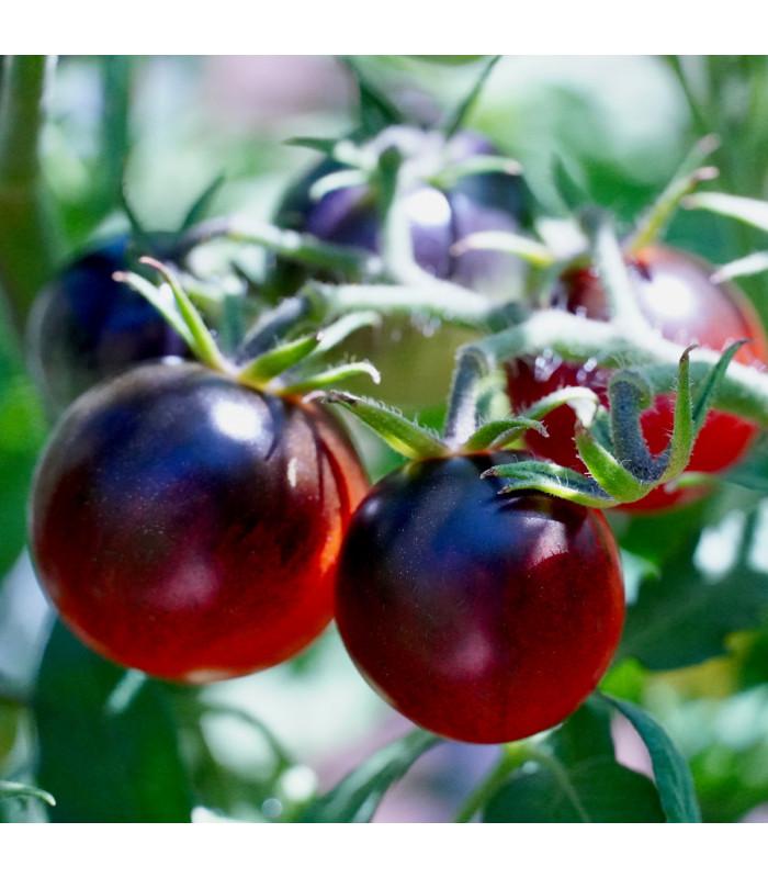 Rajče - černá Cherry rajčátka - Lycopersicon esculentum - semena - 6 ks