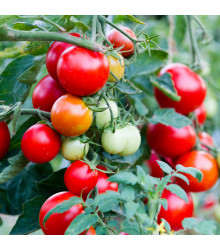 Rajče keříčkové balkónové Balkonstar - Solanum lycopersicum - semena - 10 Ks