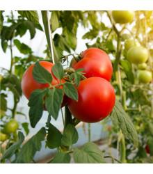 Rajče raný zázrak - Solanum lycopersicum - semena - 6 ks
