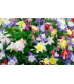 Orlíček směs barev - Aquilegia caerulea - semena trvalek - cca 140 ks