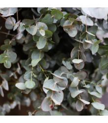 Eukalyptus guni - Eucalyptus gunnii - semena - 10 ks