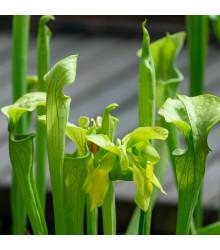 Špirlice náhorní - Sarracenia oreophila - semena špirlice - 12 ks