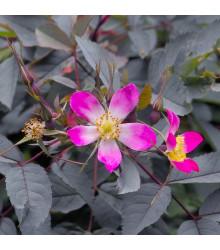 Růže sivá - Rosa glauca - semena - 5 ks