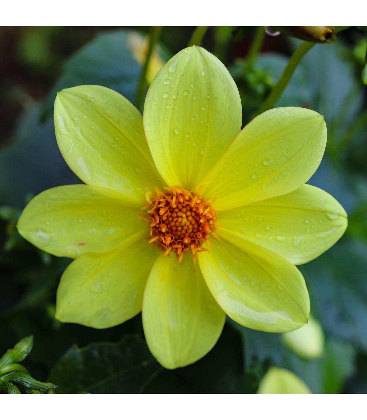 Jiřinka žlutá topmix - Dahlia - cibuloviny - 1 ks