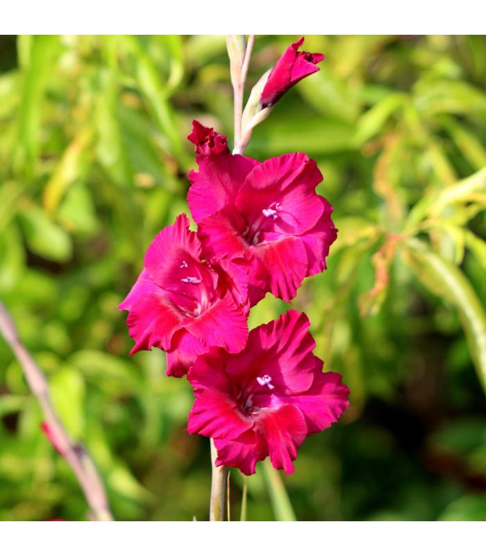 Mečík purpurový - Gladiolus Plum Tart - cibuloviny - 3 ks