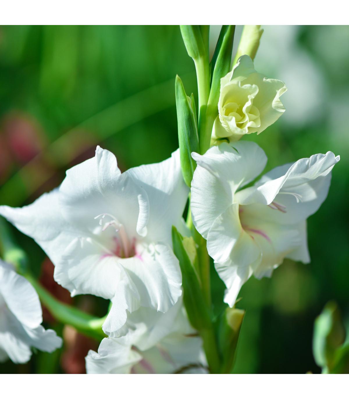 Mečík bílý - Gladiolus White Prosperity - cibuloviny - 3 ks