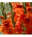 Mečík oranžový - Gladiolus - cibuloviny - 3 ks