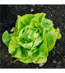 BIO Salát hlávkový máslový Sylvesta - prodej bio semen - Lactuca sativa - 100 ks