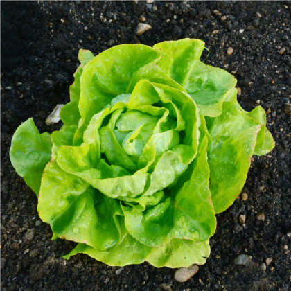 BIO Salát hlávkový máslový Sylvesta - Lactuca sativa - bio semena salátu - 100 ks