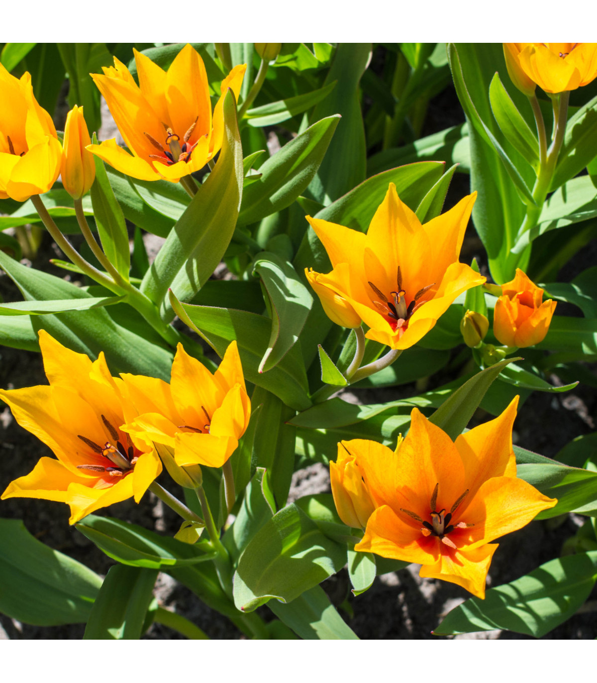 Tulipán vícekvětý Praestans Shogun - Tulipa - cibuloviny - 3 ks