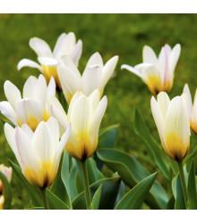 Tulipán Concerto - Tulipa - cibuloviny - 3 ks