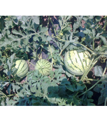 BIO Meloun cukrový Early Moonbeam - Citrullus lanatus - bio semena - 6 ks