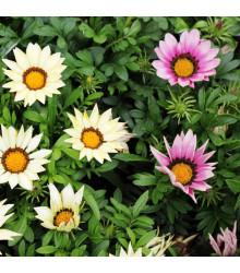Gazánie zářivá směs - Gazania rigens mix - semena - 50 ks