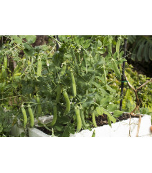 BIO Hrách dřeňový raný Zázrak z Kelvedonu - Pisum sativum - bio semena - 10 g