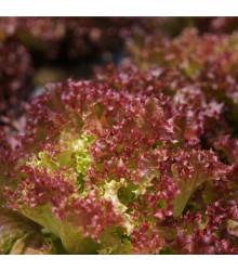 BIO Salát listový kadeřavý Lollo Rossa - Lactuca sativa - bio semena - 0,1 g