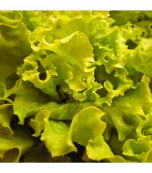 BIO Salát hlávkový Maikönig - Lactuca sativa - bio semena - 0,1 g