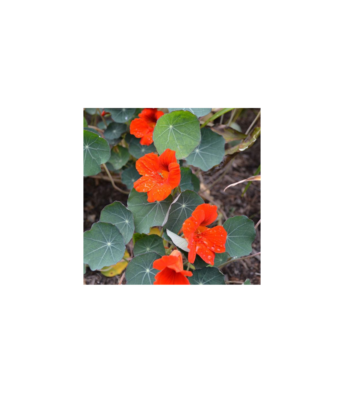 Lichořeřišnice nízká Empress of India - Tropaeolum minus - semena - 15 ks