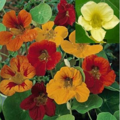 Lichořeřišnice větší Lobbianum směs - Tropaeolum majus - semena lichořeřišnice - 10 ks