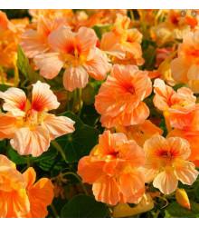 Lichořeřišnice nízká Tip Top Apricot - Kapucínka - Tropaeolum minus - semena - 12 ks