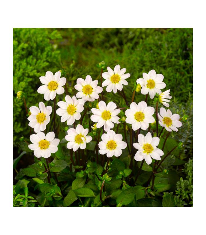 Jiřinka Topmix bílá - Dahlia - cibuloviny - 1 ks