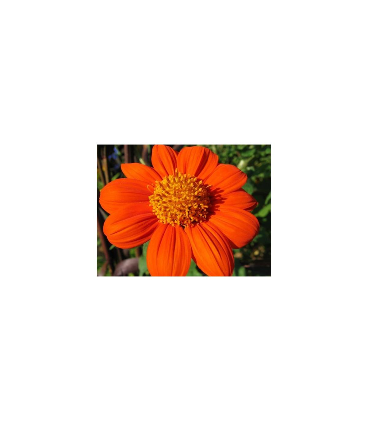 Titónie okrouhlolistá - Tithonia rotundifolia - semena titónie - 60 ks