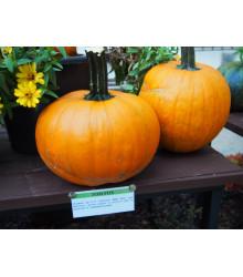 Dýně Tom Fox pro Halloween - Cucurbita pepo - semena - 5 ks