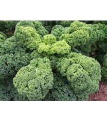 Kadeřávek Husar - Brassica oleracea L. - semena - 140 ks