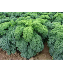 Kadeřávek zelený Kadet - Brassica oleracea L. acephala - semena kadeřávku- 200 ks