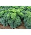 Kadeřávek zelený Kadet - Brassica oleracea L. acephala - semena - 200 ks