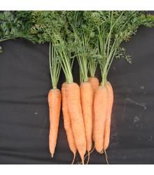 Mrkev Tinga pozdní - Daucus carota - semena - 900 ks