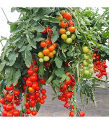 Rajče Gallant F1 - Solanum lycopersicum - semena - 10 ks