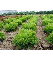 Salát Rekord - Lactuca sativa - semena - 0,3 g