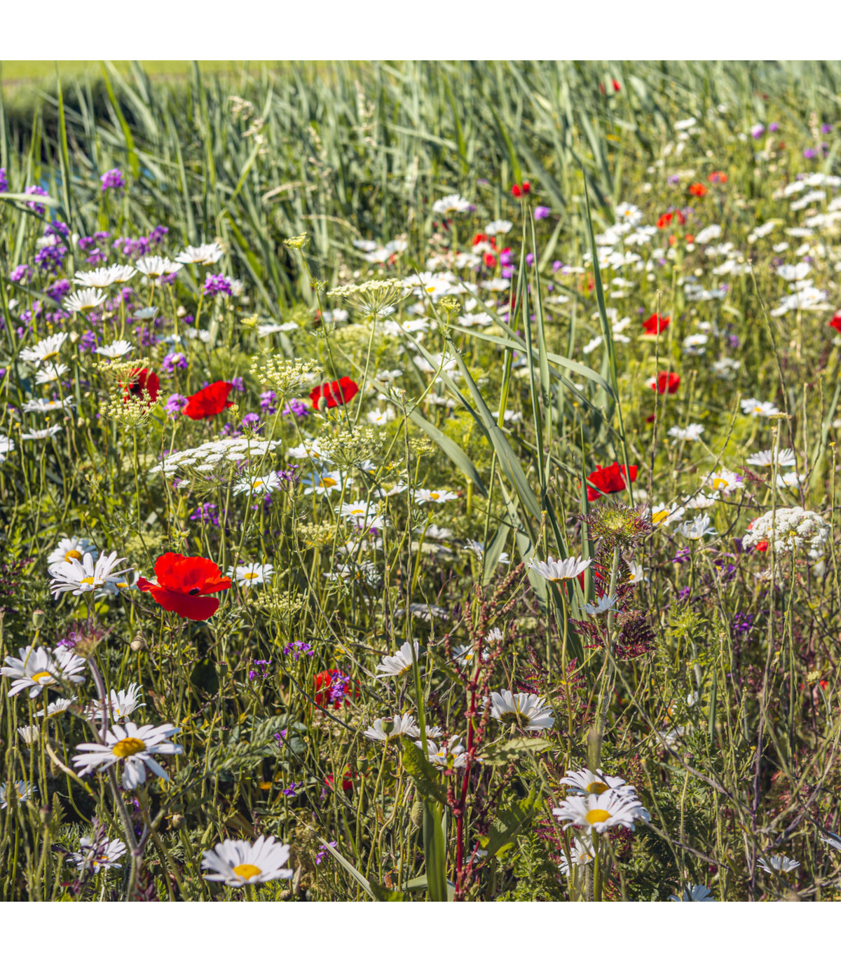 Luční květy na obohacení porostu - semena - 10 g