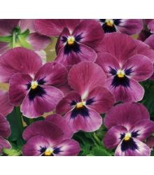 Violka rohatá Sorbet Carmine - Viola cornuta - semena - 20 ks