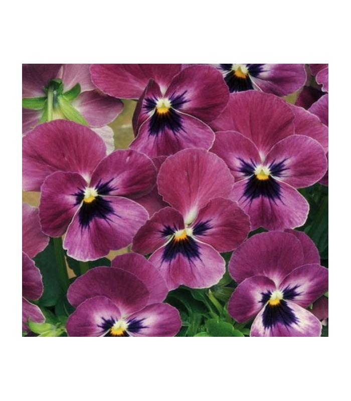 Violka rohatá Sorbet Raspberry - Viola cornuta - semena - 20 ks