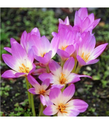 Ocún Lilac Wonder - Colchicum - cibuloviny - 1 Ks