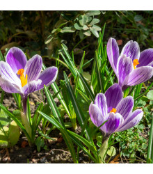 Krokus King of striped - Crocus vernus - cibuloviny - 3 ks