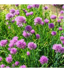 Pažitka pobřežní Splendidus - Allium schoenoprassum - semena - 200 ks