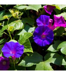 Povíjnice nachová Kniolas Black - Ipomoea purpurea – semena - 20 ks